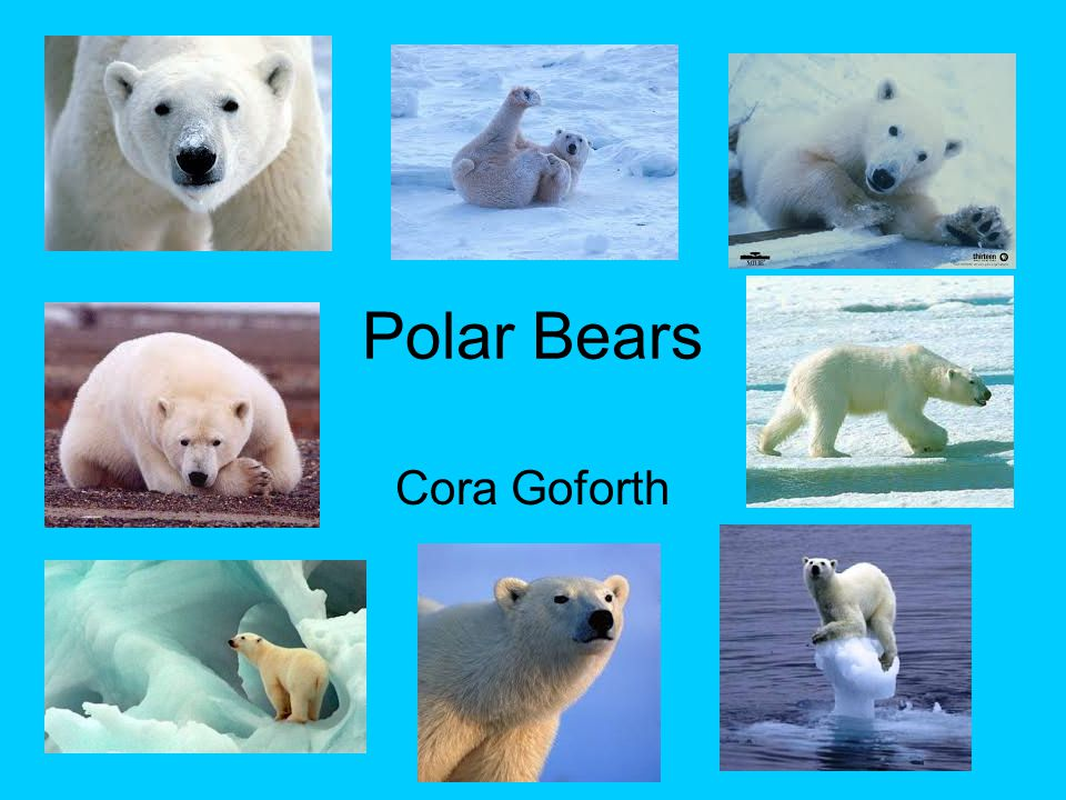 Polar Bears Cora Goforth