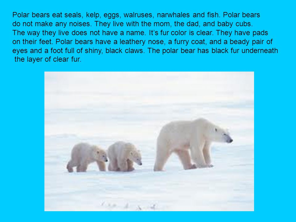 Polar bears eat seals, kelp, eggs, walruses, narwhales and fish