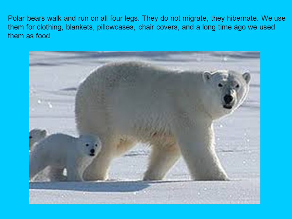 Polar bears walk and run on all four legs