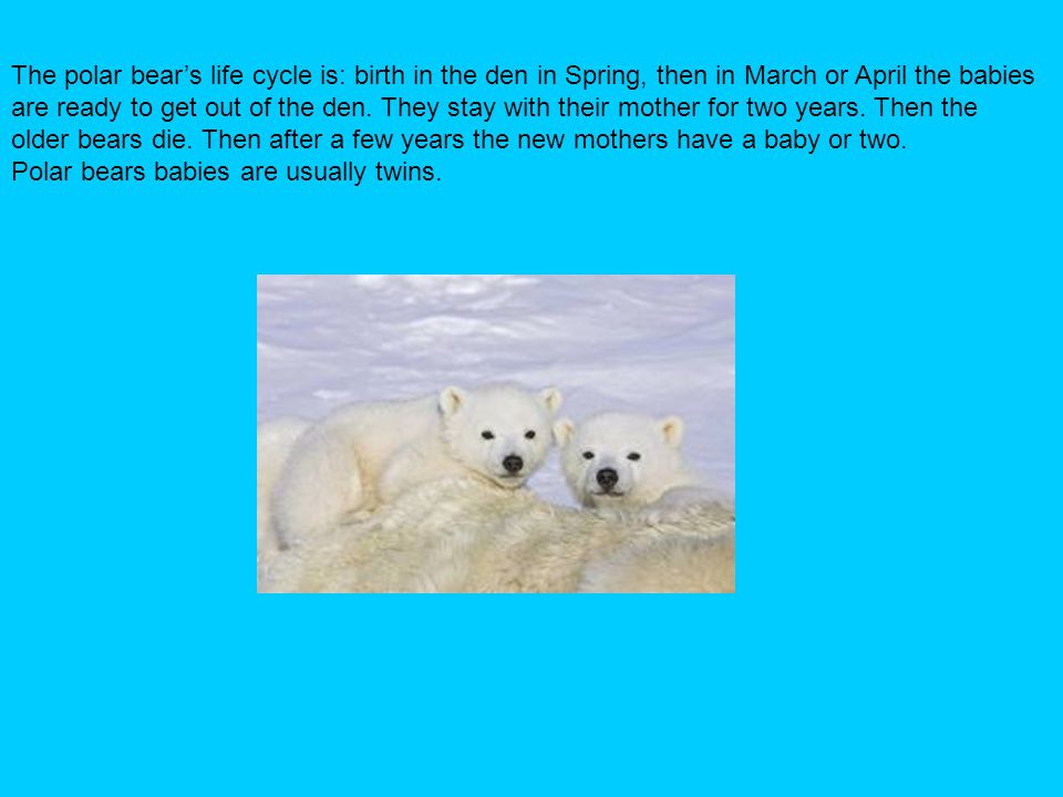 The polar bear's life cycle is: birth in the den in Spring, then in March or April the babies
