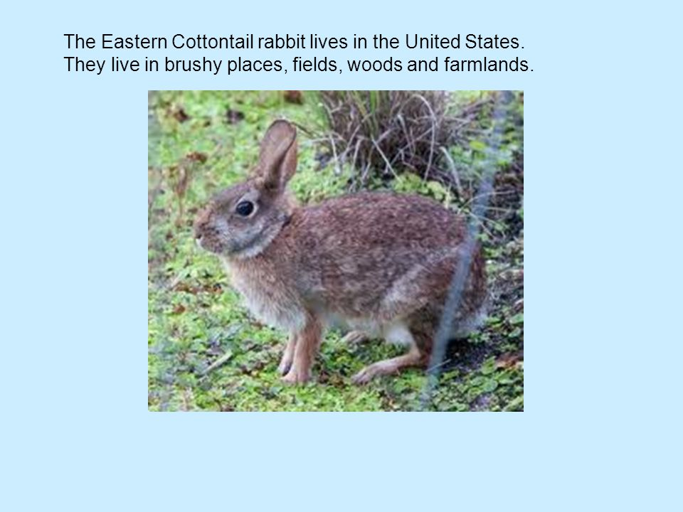 The Eastern Cottontail rabbit lives in the United States.