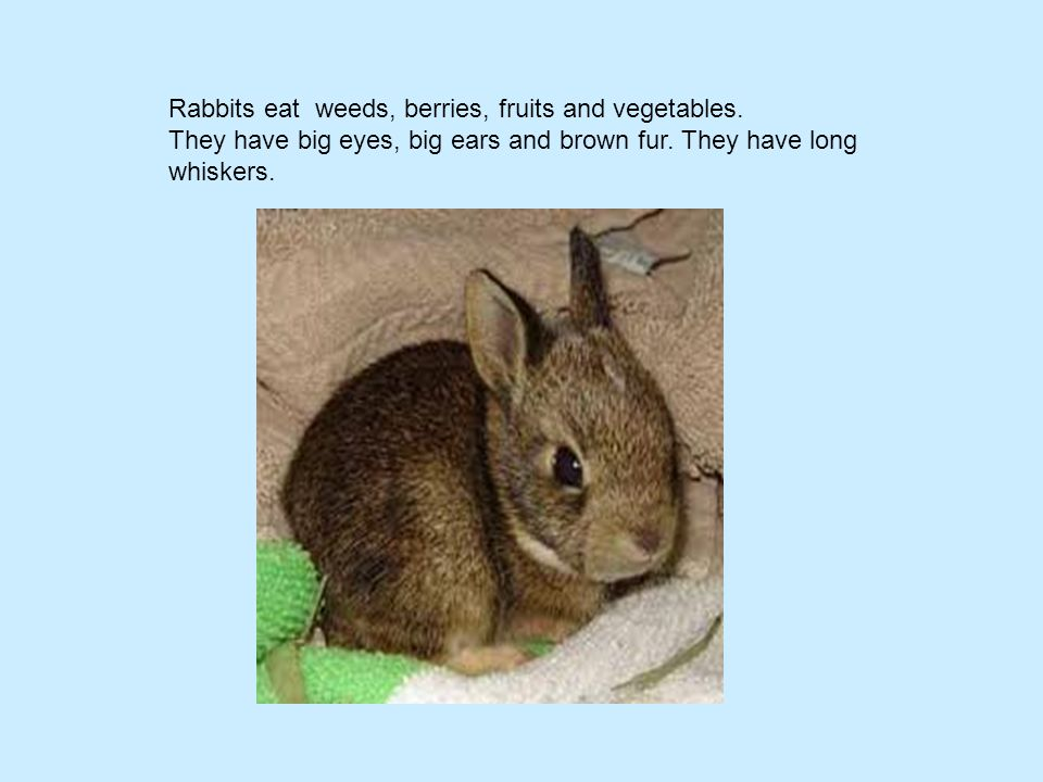 Rabbits eat weeds, berries, fruits and vegetables.
