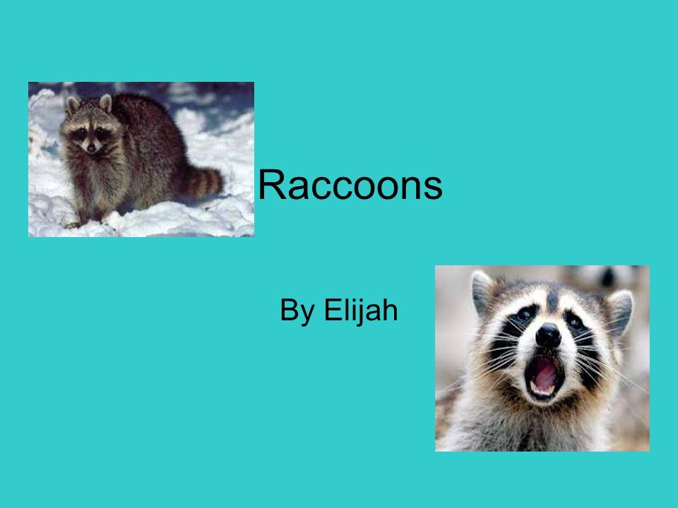 Raccoons By Elijah