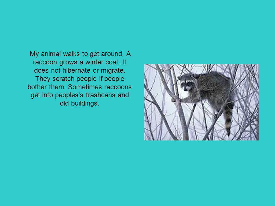 My animal walks to get around. A raccoon grows a winter coat