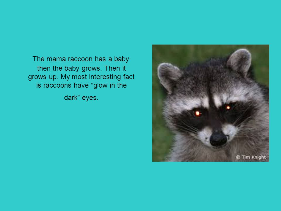 The mama raccoon has a baby then the baby grows. Then it grows up
