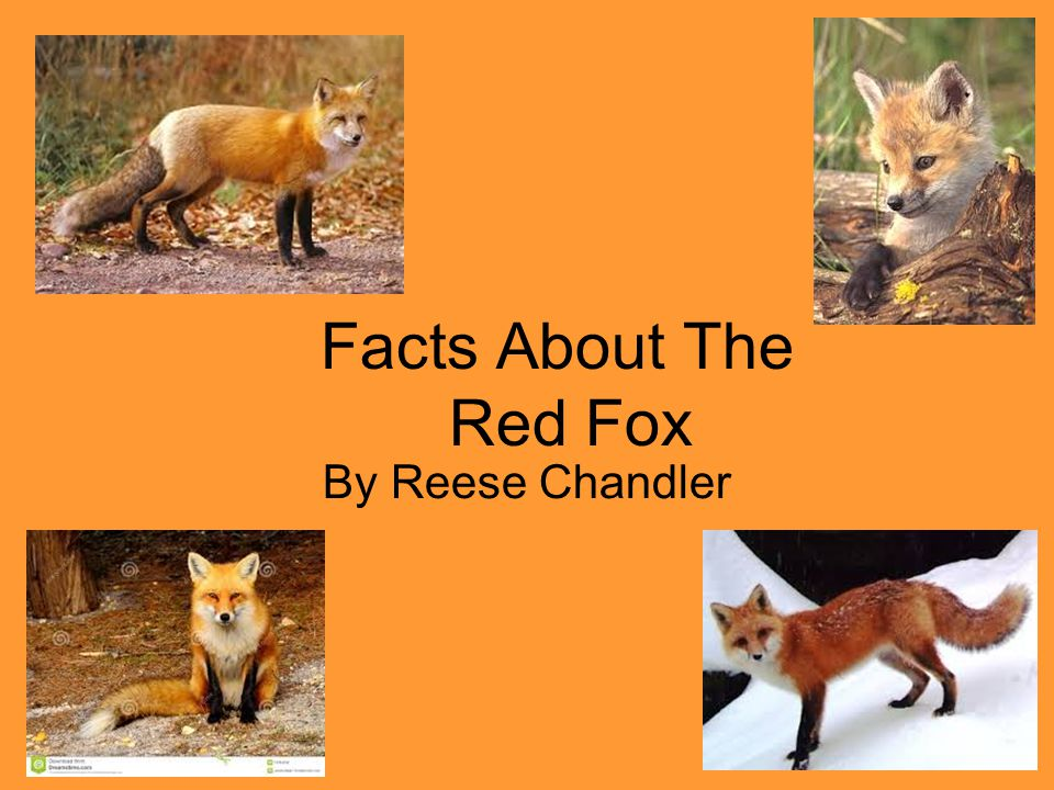 Facts About The Red Fox By Reese Chandler