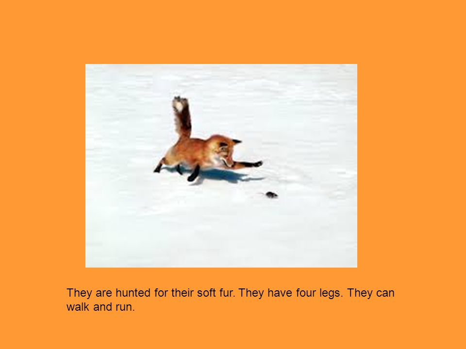 They are hunted for their soft fur. They have four legs. They can