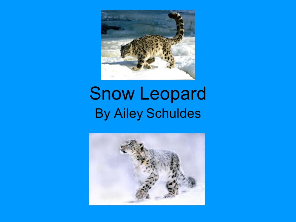 Snow Leopard By Ailey Schuldes