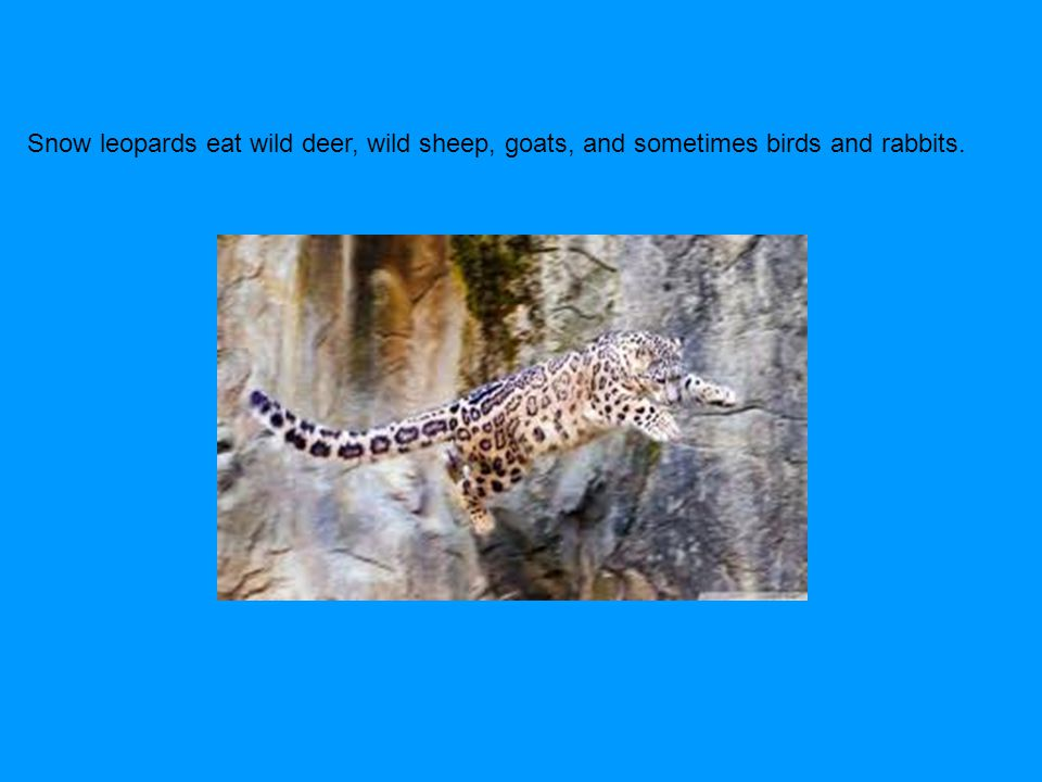 Snow leopards eat wild deer, wild sheep, goats, and sometimes birds and rabbits.