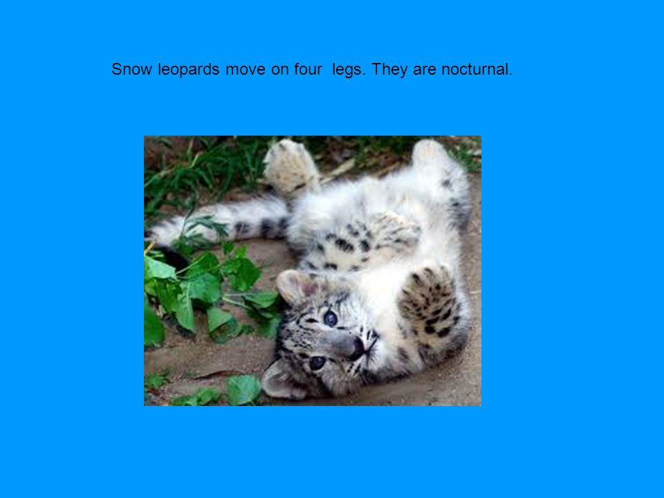 Snow leopards move on four legs. They are nocturnal.