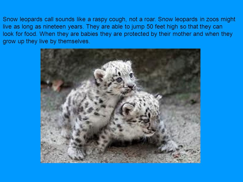 Snow leopards call sounds like a raspy cough, not a roar