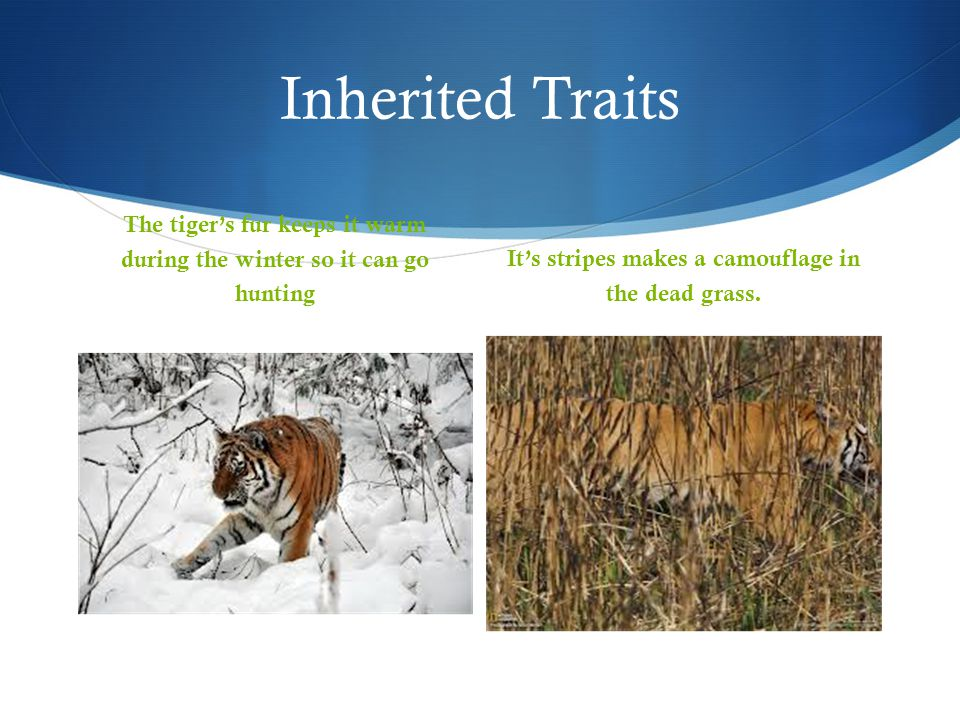 Inherited Traits The tiger's fur keeps it warm during the winter so it can go hunting.