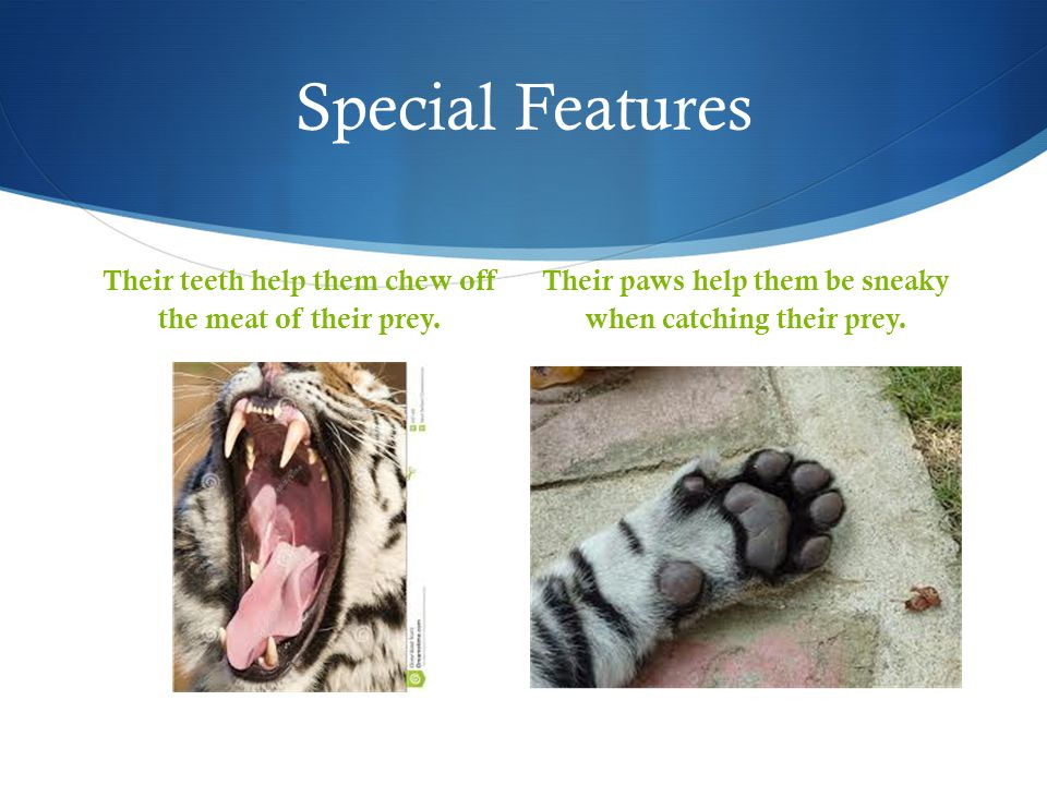 Special Features Their teeth help them chew off the meat of their prey.