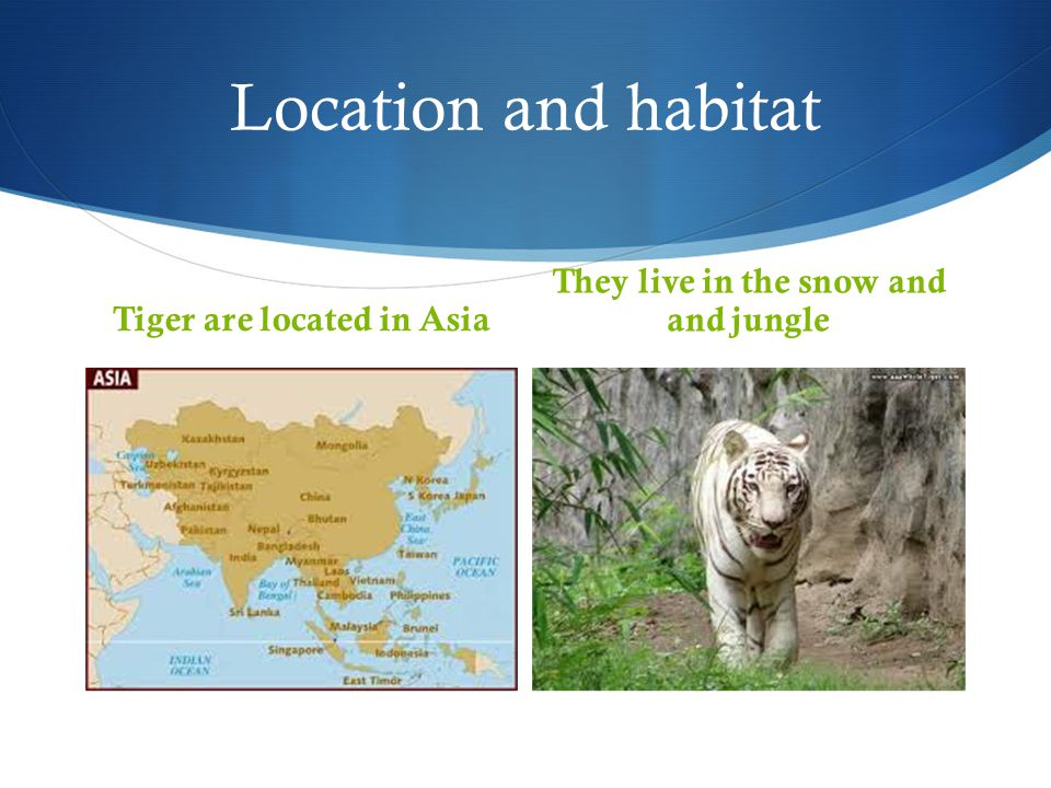 Tiger are located in Asia They live in the snow and and jungle
