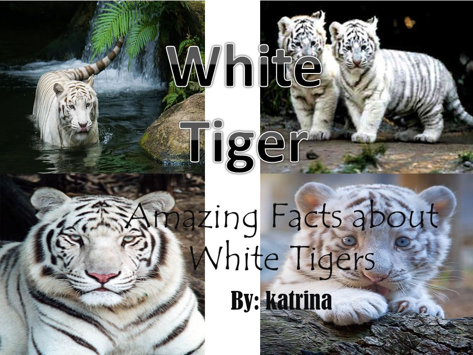 Amazing Facts about White Tigers By: katrina