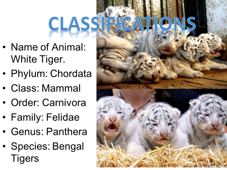 Classifications Name of Animal: White Tiger. Phylum: Chordata