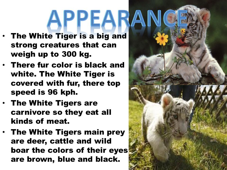 Appearance The White Tiger is a big and strong creatures that can weigh up to 300 kg.