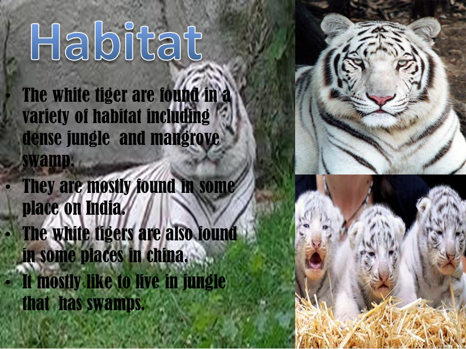 amazing facts about white tigers by: katrina - ppt video online download