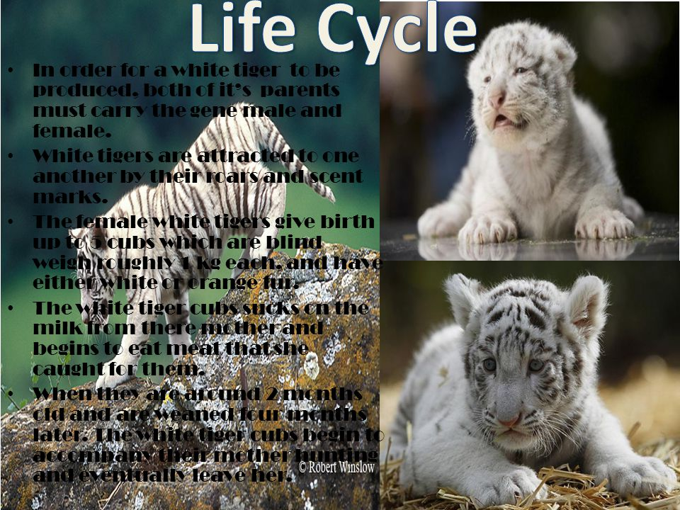Life Cycle In order for a white tiger to be produced, both of it's parents must carry the gene male and female.