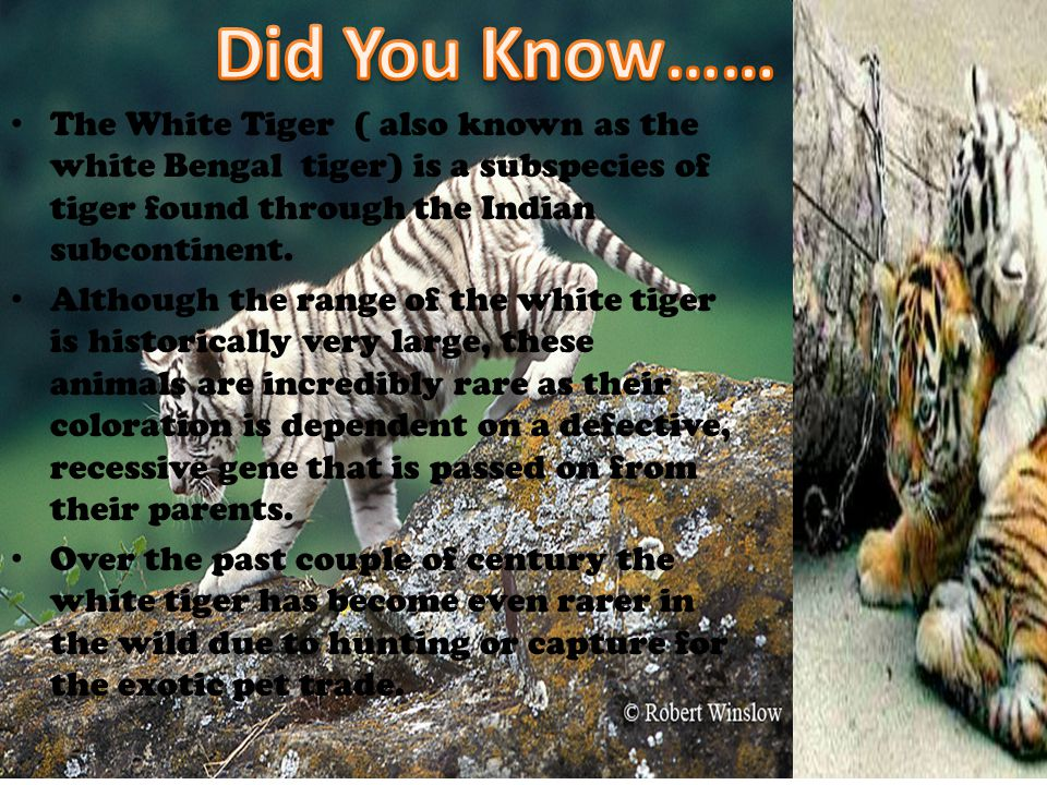 Did You Know…… The White Tiger ( also known as the white Bengal tiger) is a subspecies of tiger found through the Indian subcontinent.