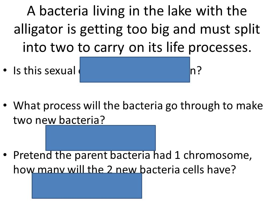 A bacteria living in the lake with the alligator is getting too big and must split into two to carry on its life processes.