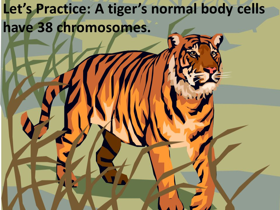 Let's Practice: A tiger's normal body cells have 38 chromosomes.