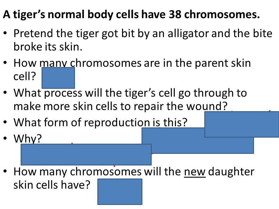 A tiger's normal body cells have 38 chromosomes.