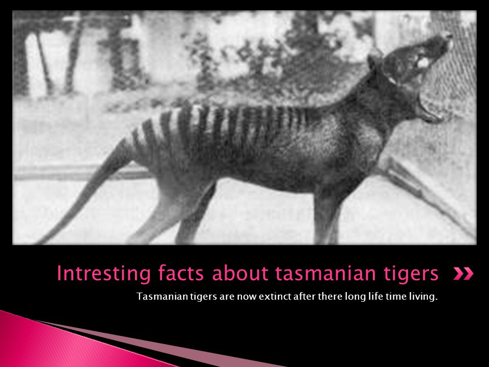 Intresting facts about tasmanian tigers