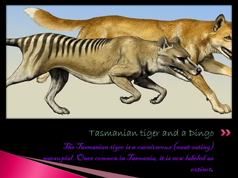 Tasmanian tiger and a Dingo