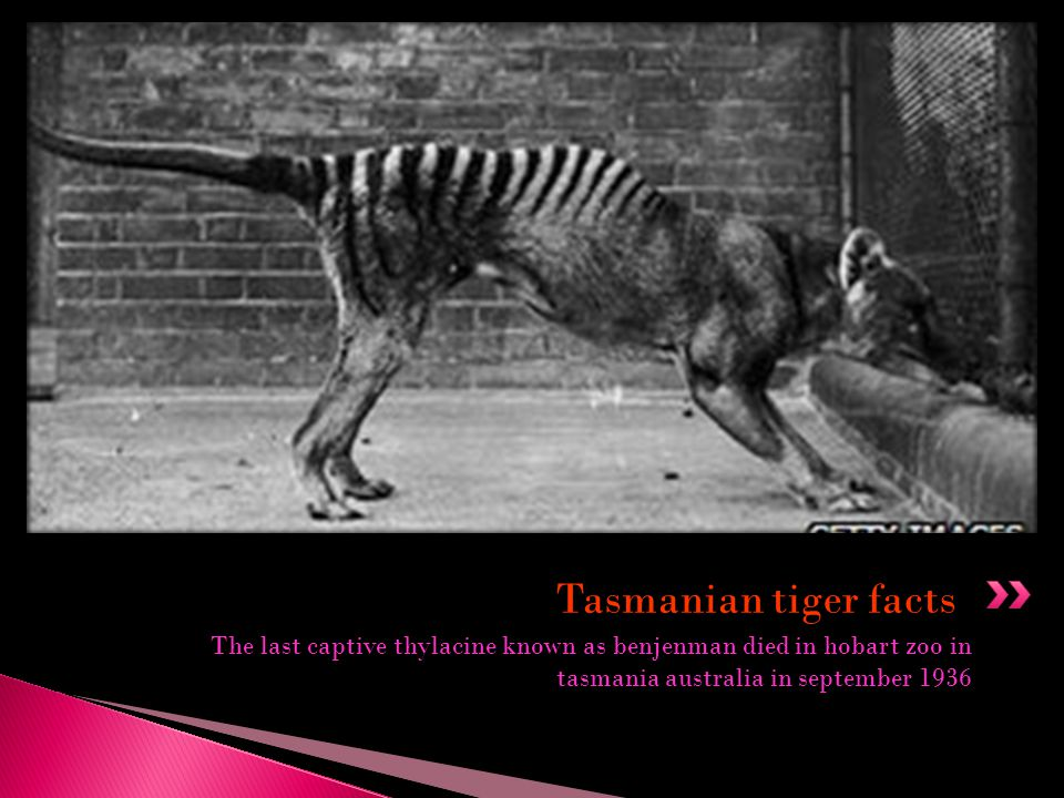 Tasmanian tiger facts The last captive thylacine known as benjenman died in hobart zoo in tasmania australia in september 1936.