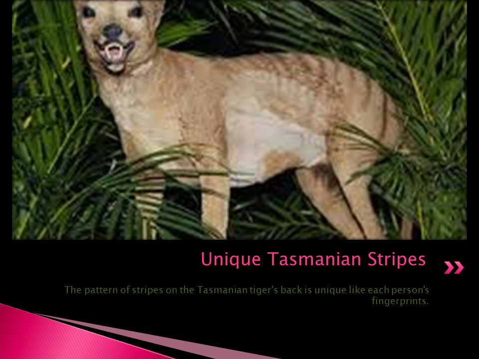 Unique Tasmanian Stripes