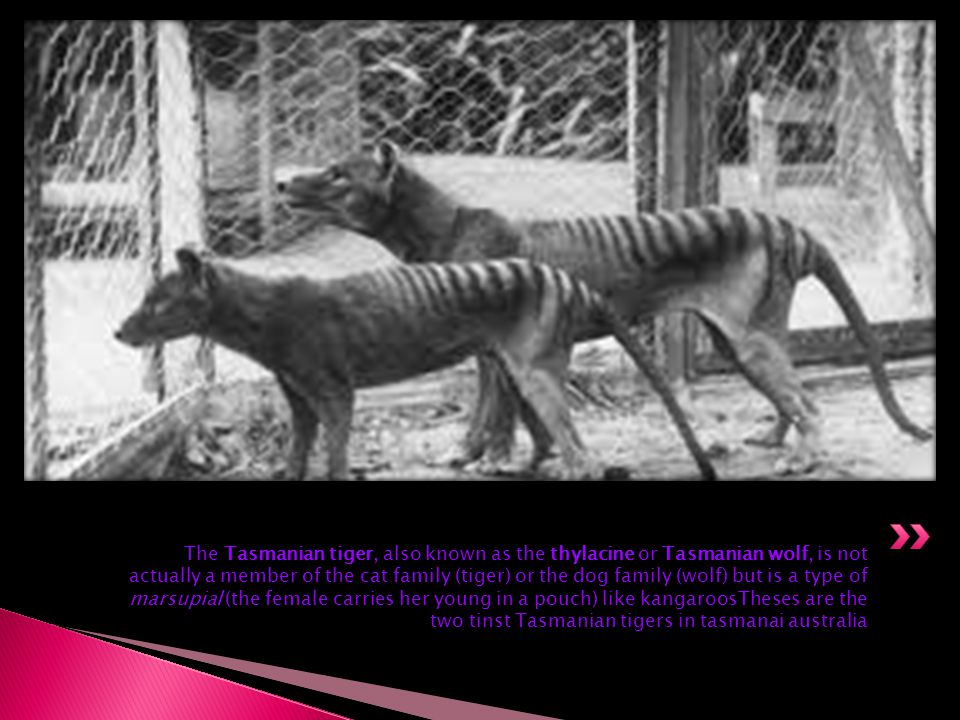 The Tasmanian tiger, also known as the thylacine or Tasmanian wolf, is not actually a member of the cat family (tiger) or the dog family (wolf) but is a type of marsupial (the female carries her young in a pouch) like kangaroosTheses are the two tinst Tasmanian tigers in tasmanai australia