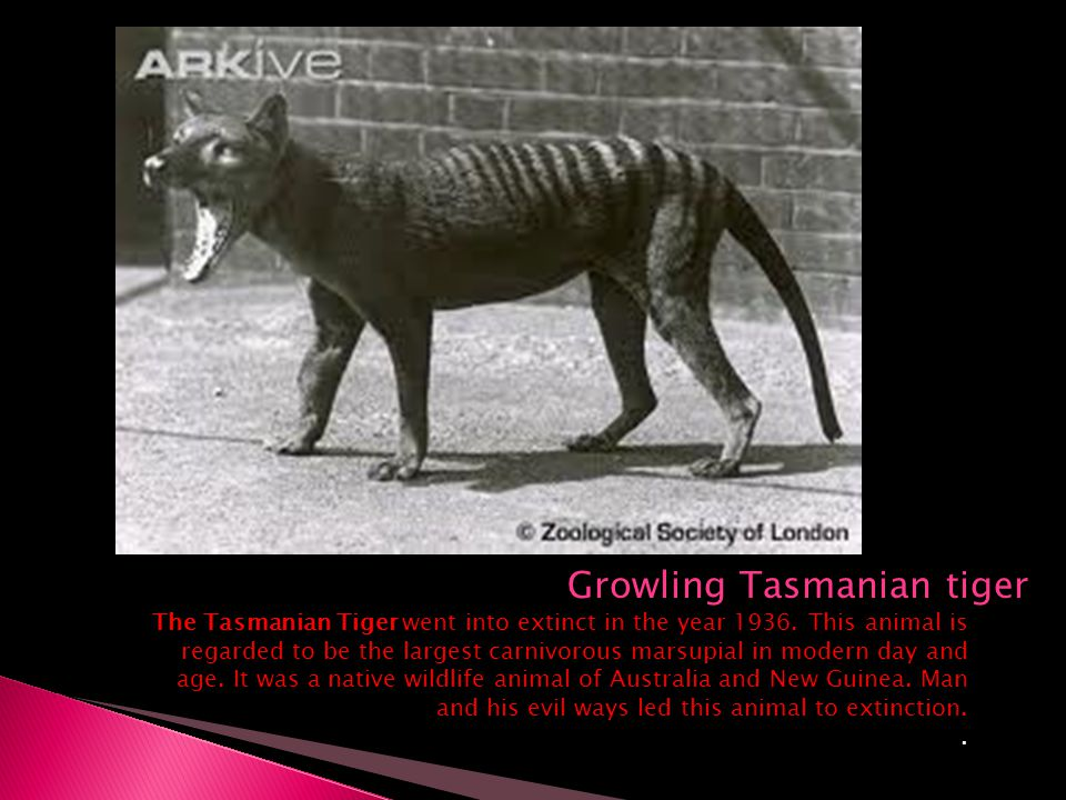 Growling Tasmanian tiger