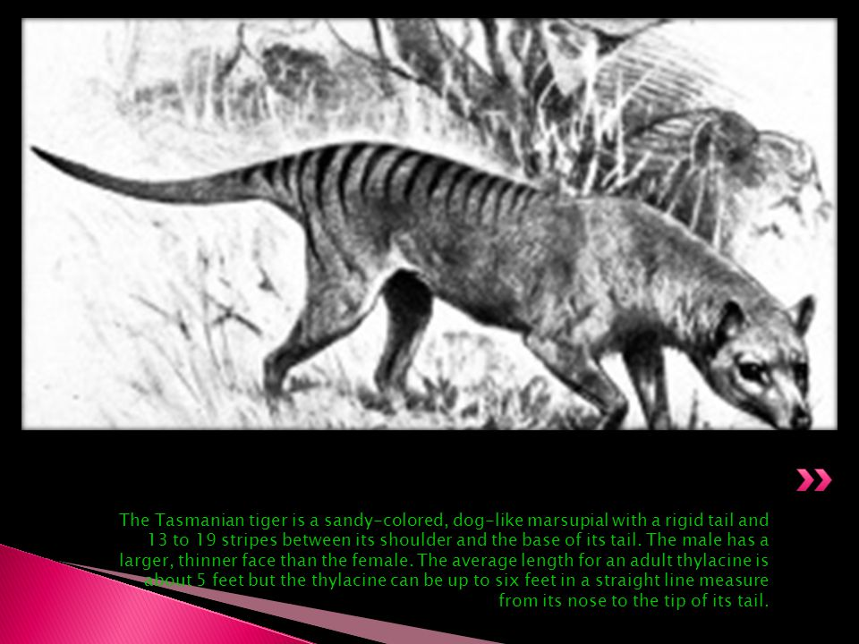 The Tasmanian tiger is a sandy-colored, dog-like marsupial with a rigid tail and 13 to 19 stripes between its shoulder and the base of its tail.