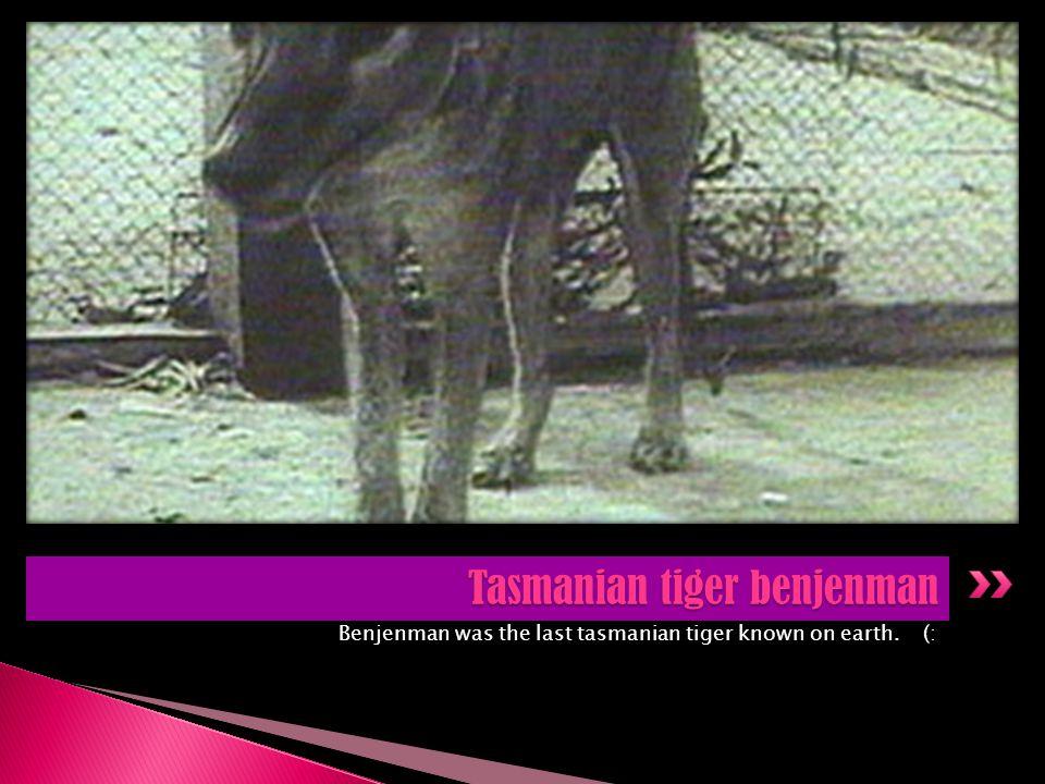 Tasmanian tiger benjenman
