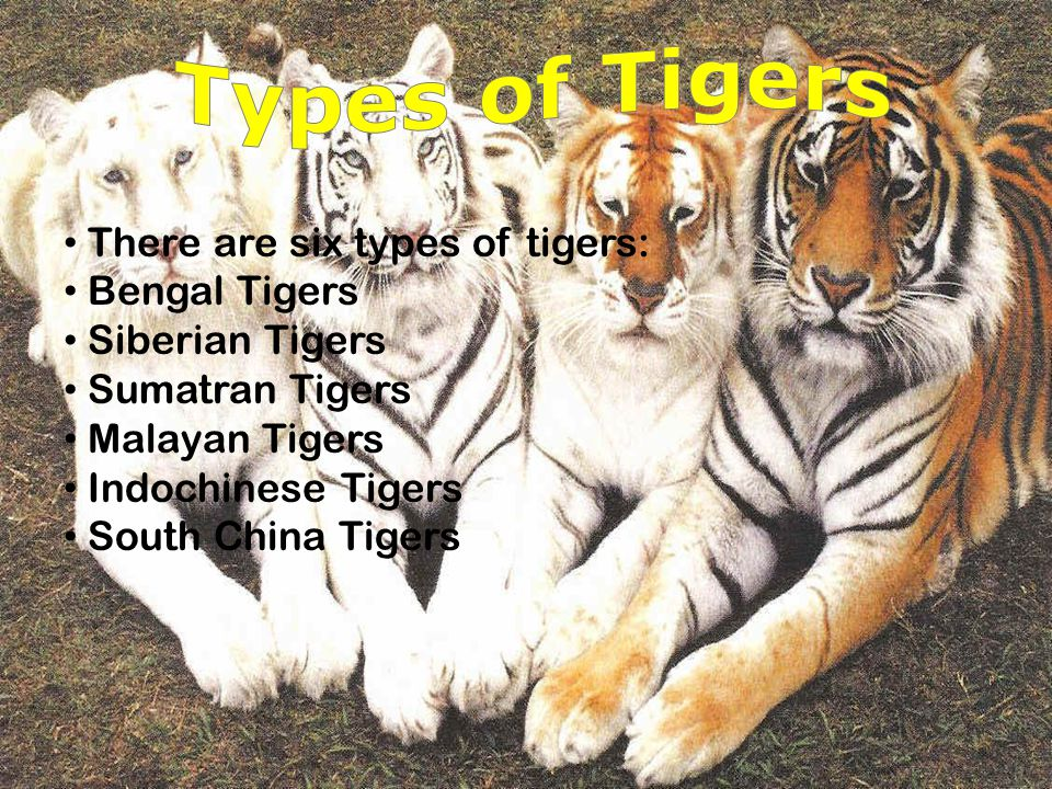 Types of Tigers There are six types of tigers: Bengal Tigers