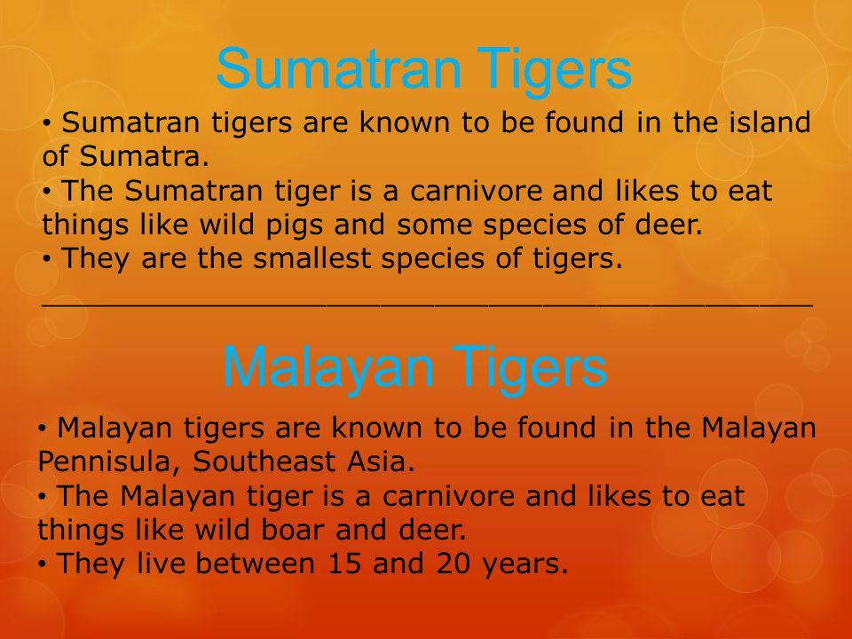 Sumatran Tigers Malayan Tigers