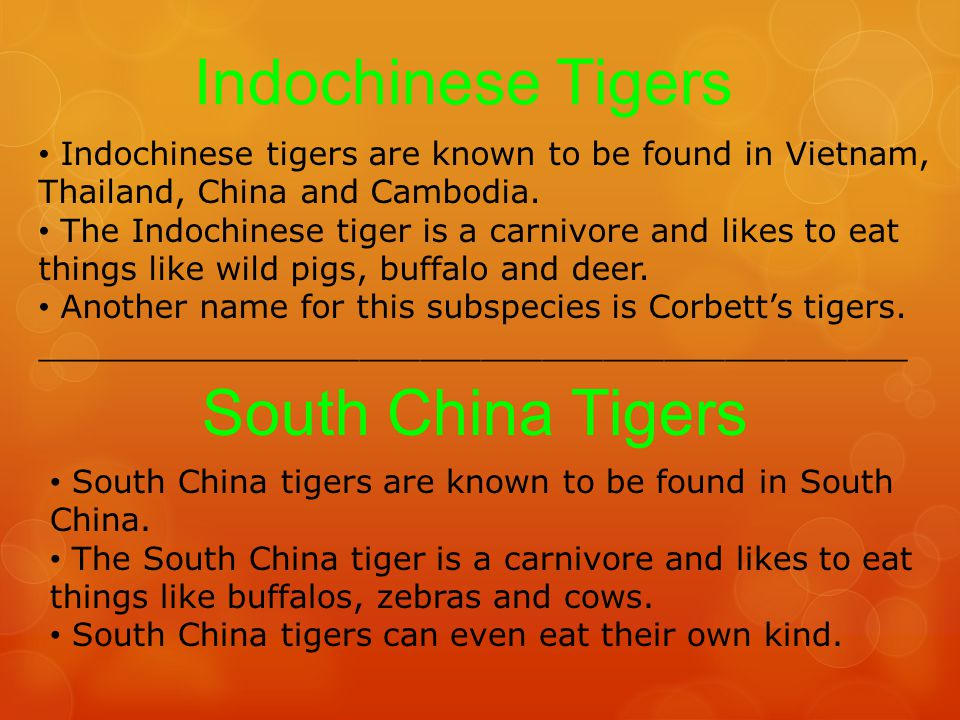 Indochinese Tigers South China Tigers