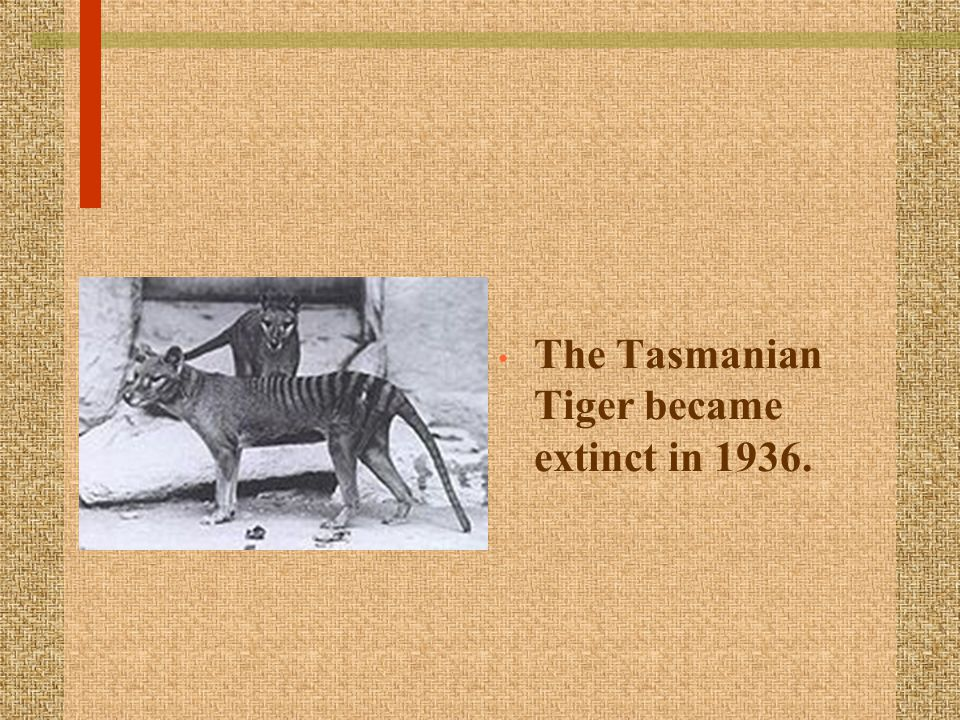 The Tasmanian Tiger became extinct in 1936.