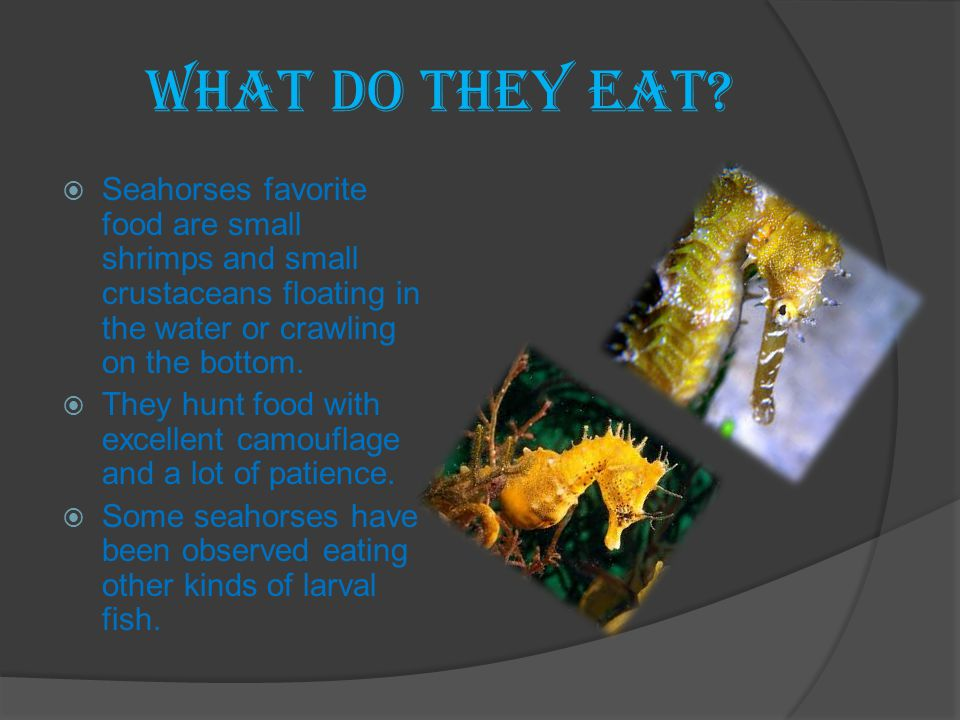 What do they eat Seahorses favorite food are small shrimps and small crustaceans floating in the water or crawling on the bottom.