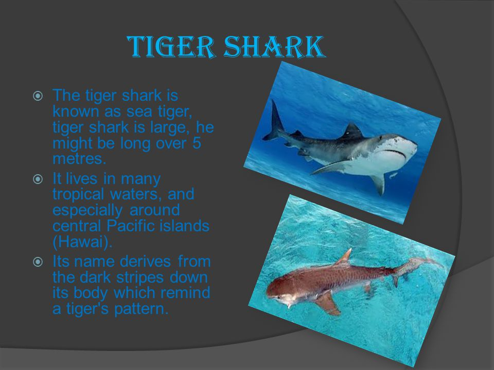 Tiger Shark The tiger shark is known as sea tiger, tiger shark is large, he might be long over 5 metres.