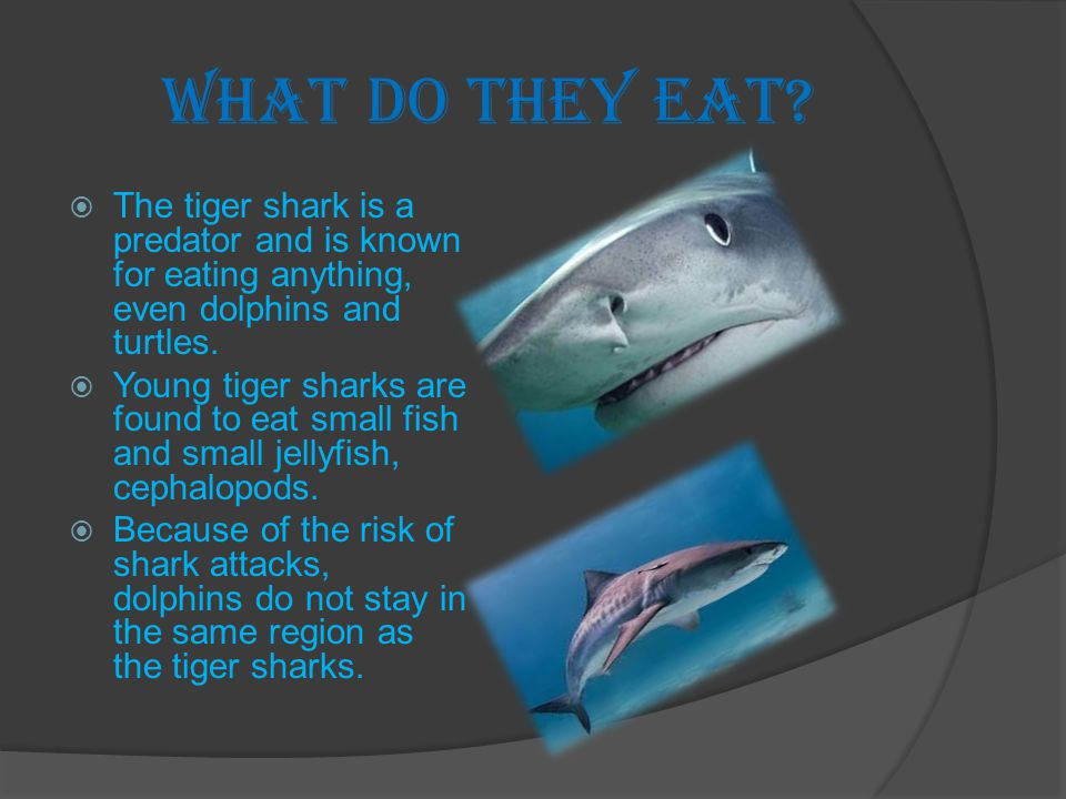 What do they eat The tiger shark is a predator and is known for eating anything, even dolphins and turtles.