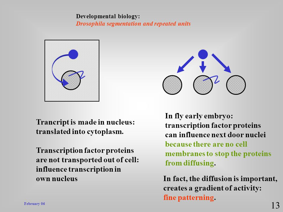 13 In fly early embryo: transcription factor proteins