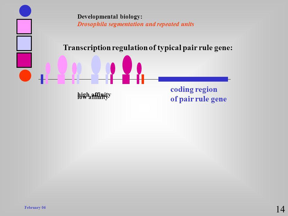 14 Transcription regulation of typical pair rule gene: coding region