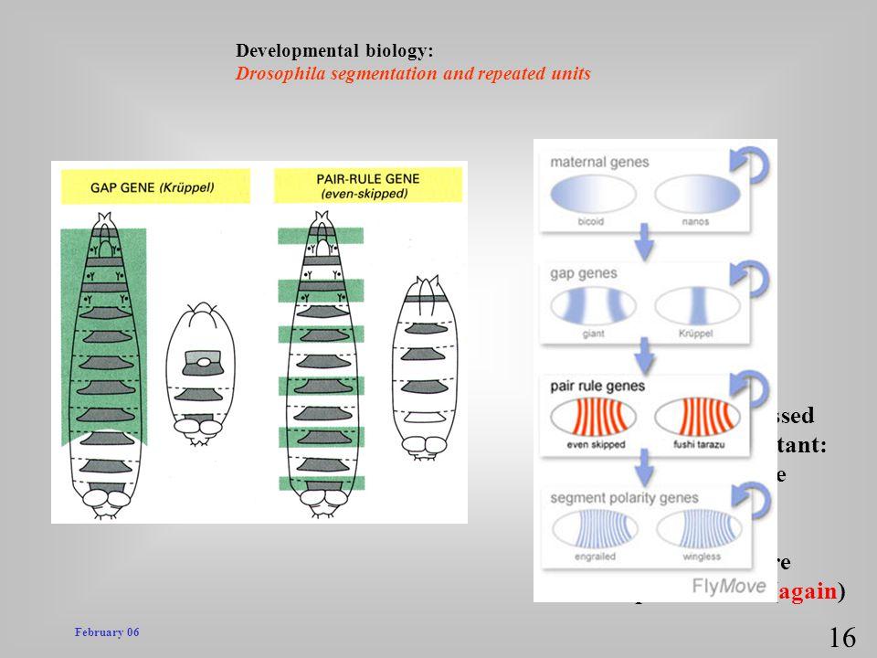 pair rule genes = pair rule mutants! 16 * in mutant embryo,