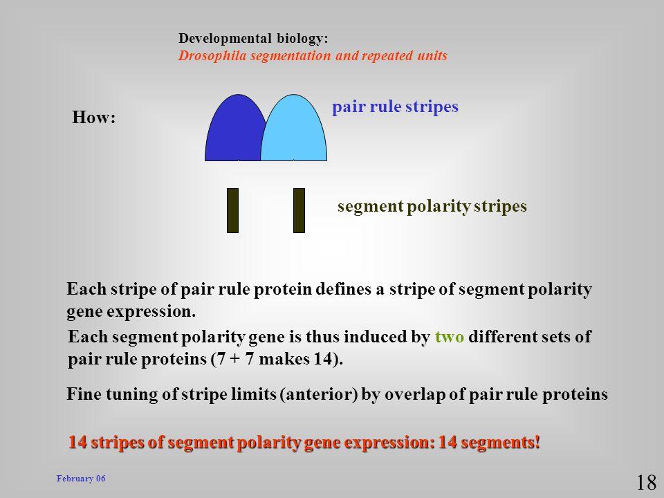 18 pair rule stripes How: segment polarity stripes