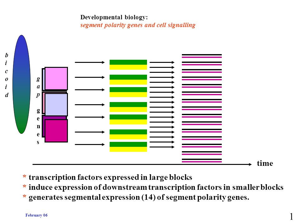 1 time * transcription factors expressed in large blocks