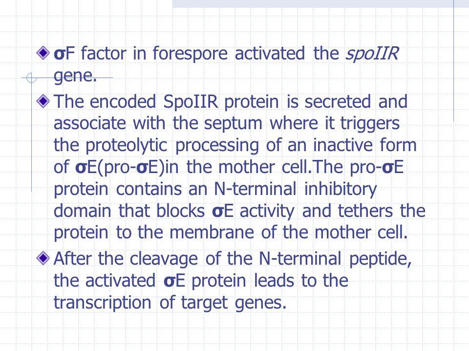 σF factor in forespore activated the spoIIR gene.