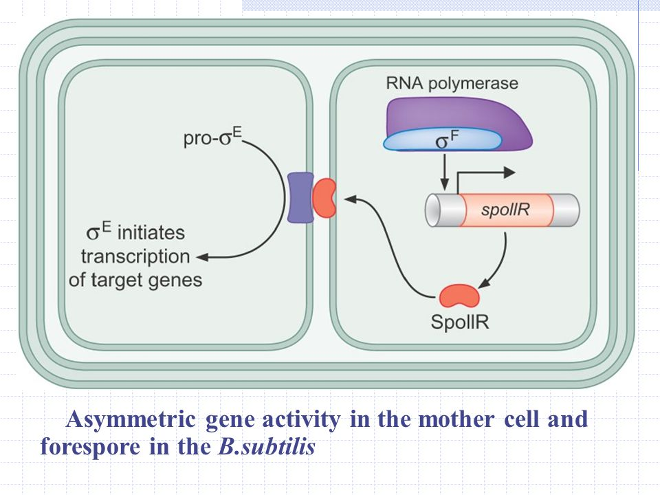 Asymmetric gene activity in the mother cell and forespore in the B
