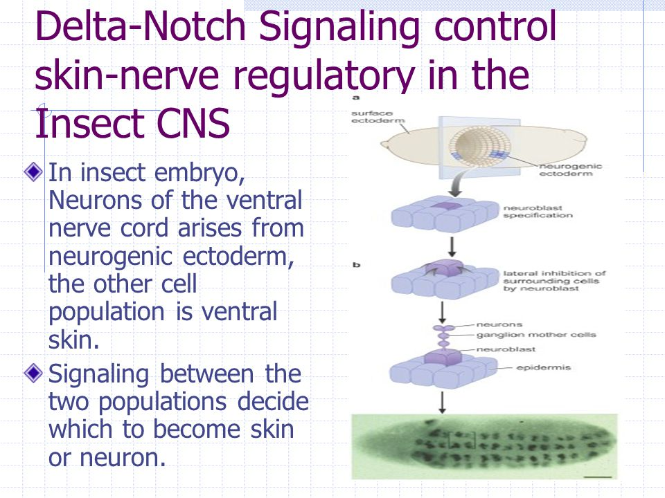 Delta-Notch Signaling control skin-nerve regulatory in the Insect CNS